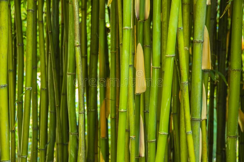 Green bamboo background. Or texture stock photo