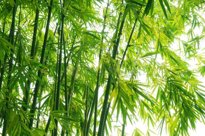 The green bamboo background stock photos