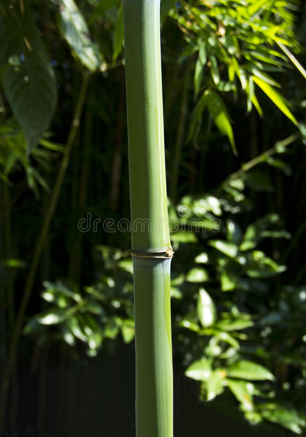 Download Green bamboo branch stock image. Image of plant, leaves - 31339371
