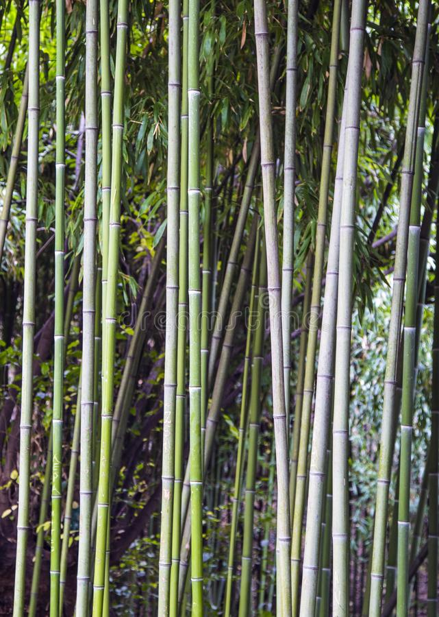 Green bamboo fence texture background, bamboo texture panorama stock images