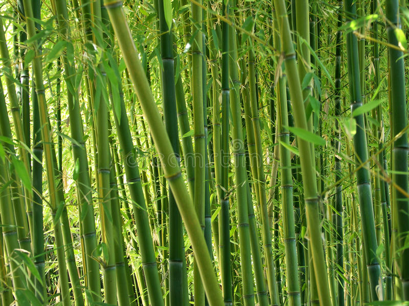 Download Green Bamboo Forest stock photo. Image of growing, china - 12449934