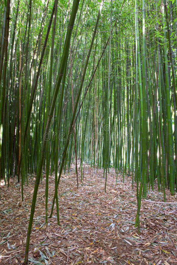 Download Green bamboo forest stock image. Image of asia, color - 18239685