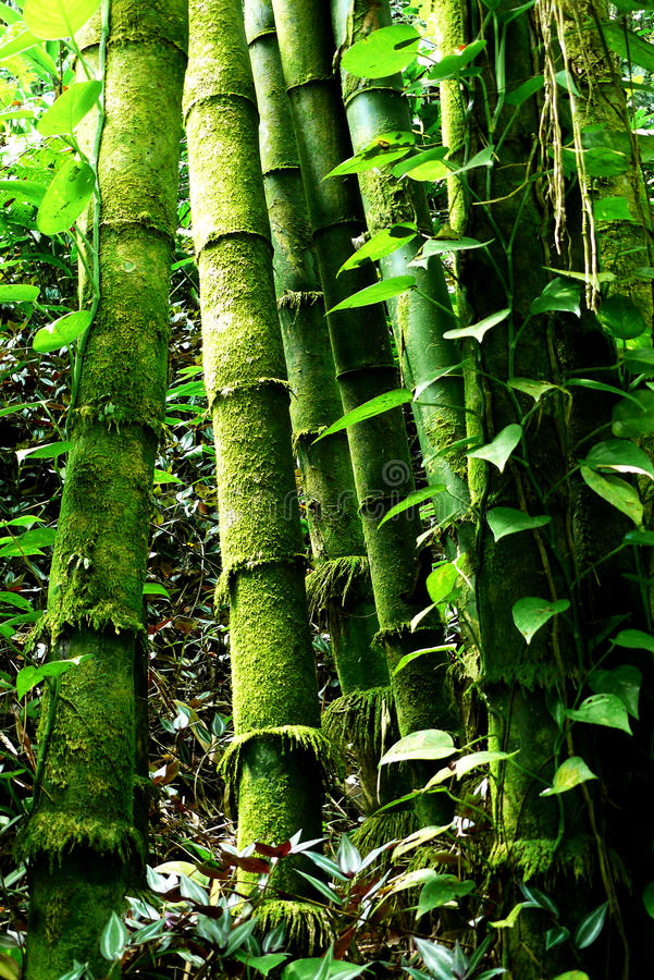 Free Green Bamboo Forest Stock Image - 20042131