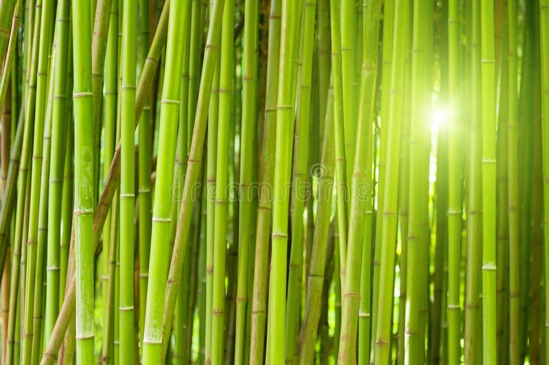 Green bamboo forest. With bright morning sunlight