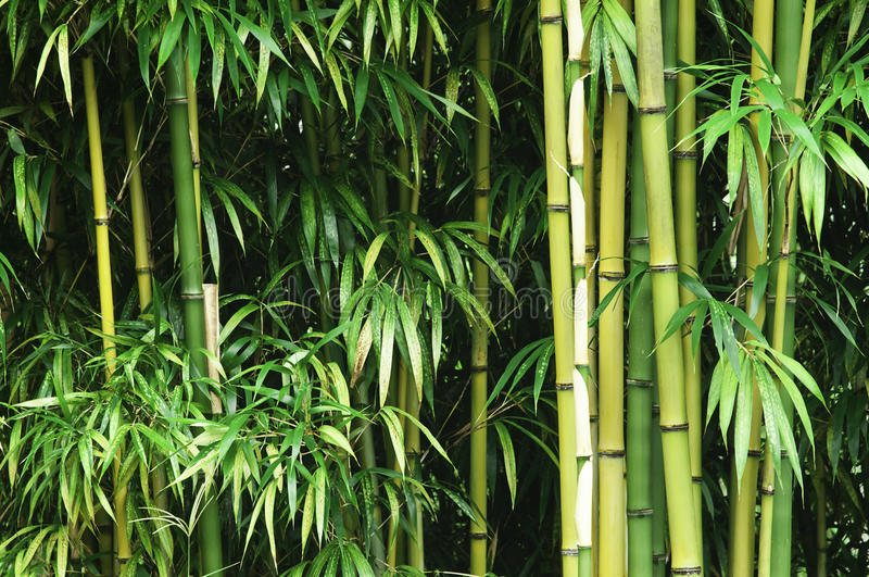 Download Green bamboo forest stock photo. Image of spring, leaf - 23863058