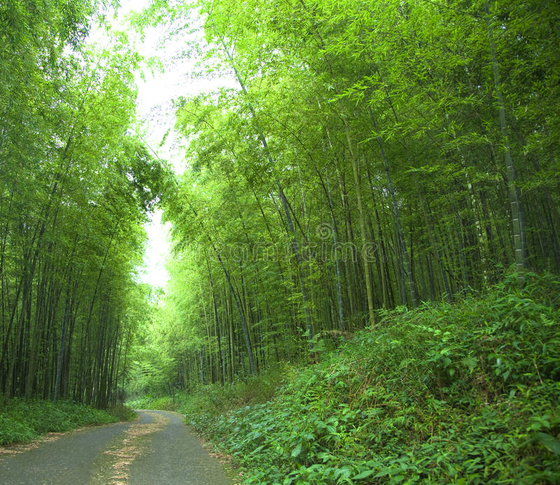 Green bamboo forest. Road and green bamboo forest royalty free stock photography