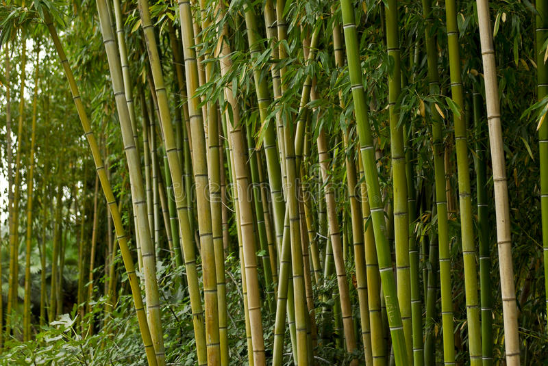 Download Green Bamboo Forest Royalty Free Stock Image - Image: 28550606