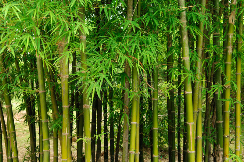 Green bamboo forest. Bamboo forest background green tone stock photo