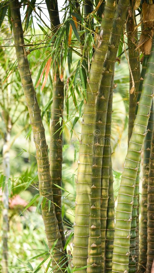 Bamboo In the garden. Green Bamboo forest in garden. Bamboo background stock images