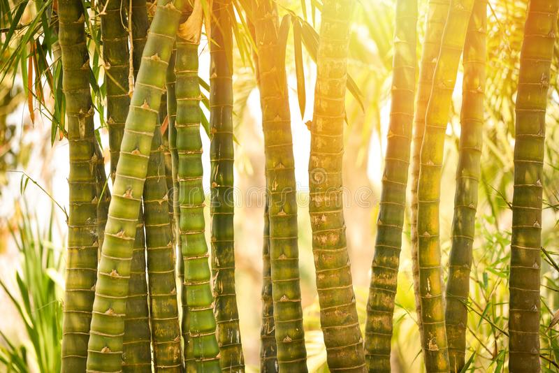 Bamboo In the garden. Green Bamboo forest in garden. Bamboo background royalty free stock photography