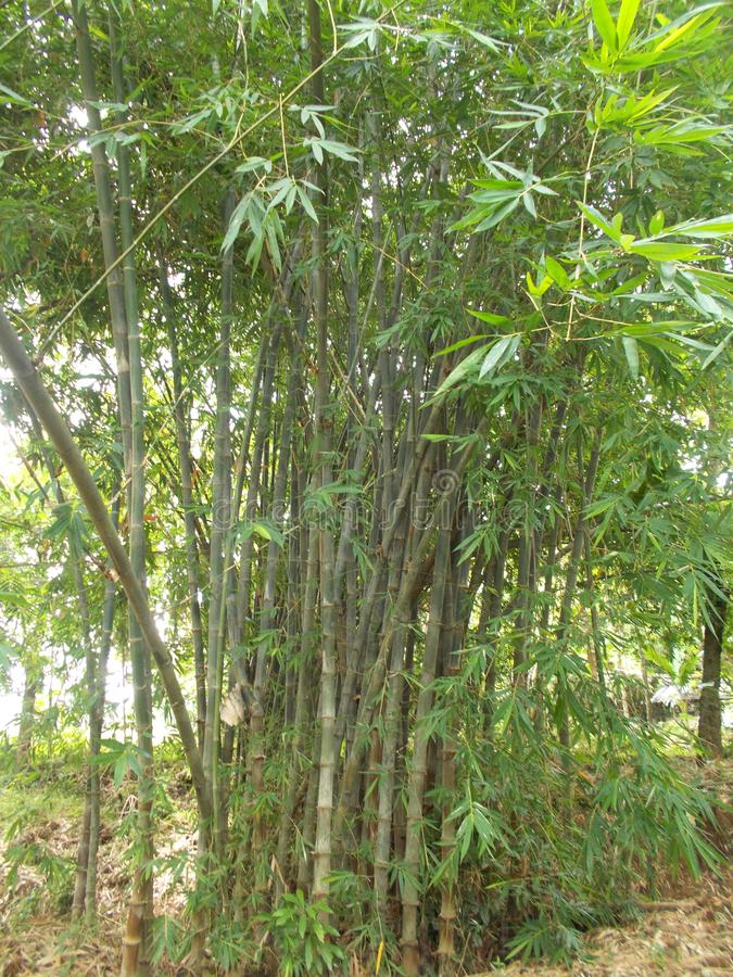 Bamboo forest on my village stock image