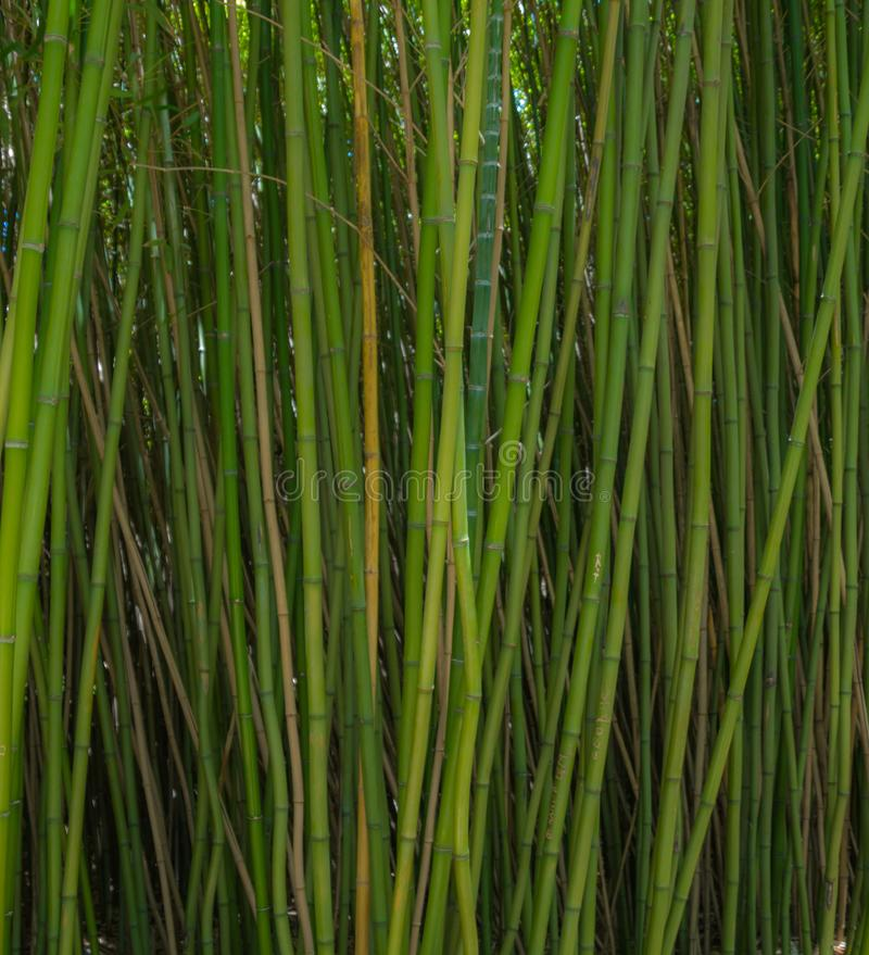 Green bamboo forest. Tall green bamboo forest background image in summer royalty free stock photo