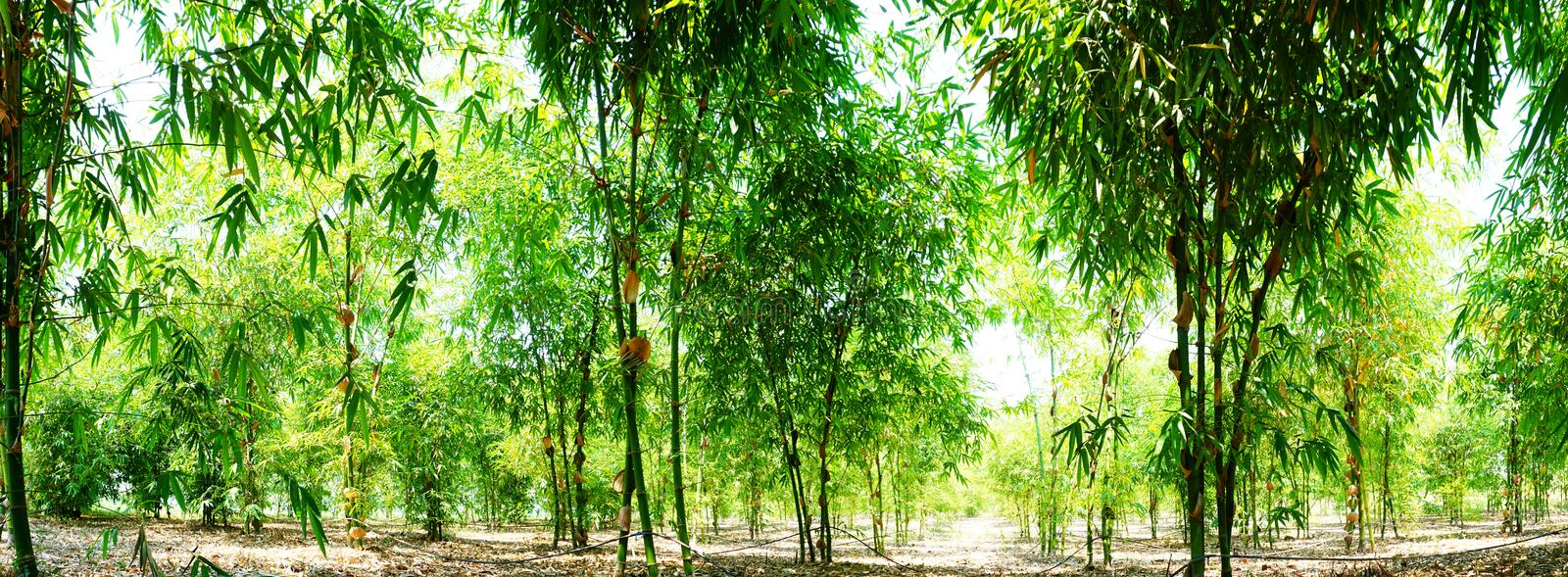 Green bamboo garden panoramic photo, planted to eat trees.  stock photography