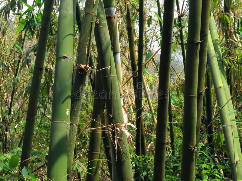 Green Bamboo Grove royalty free stock photography
