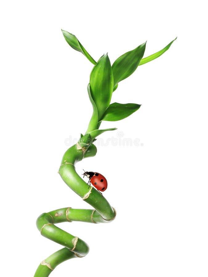 Green bamboo with ladybug. Isolated on white stock photos