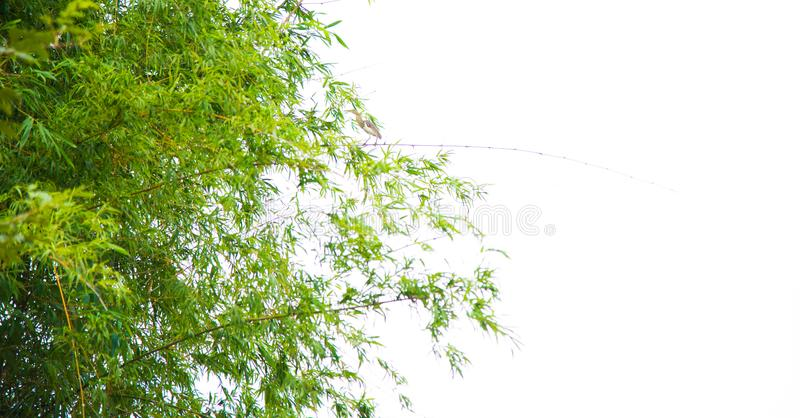 Green bamboo leaf background. royalty free stock image
