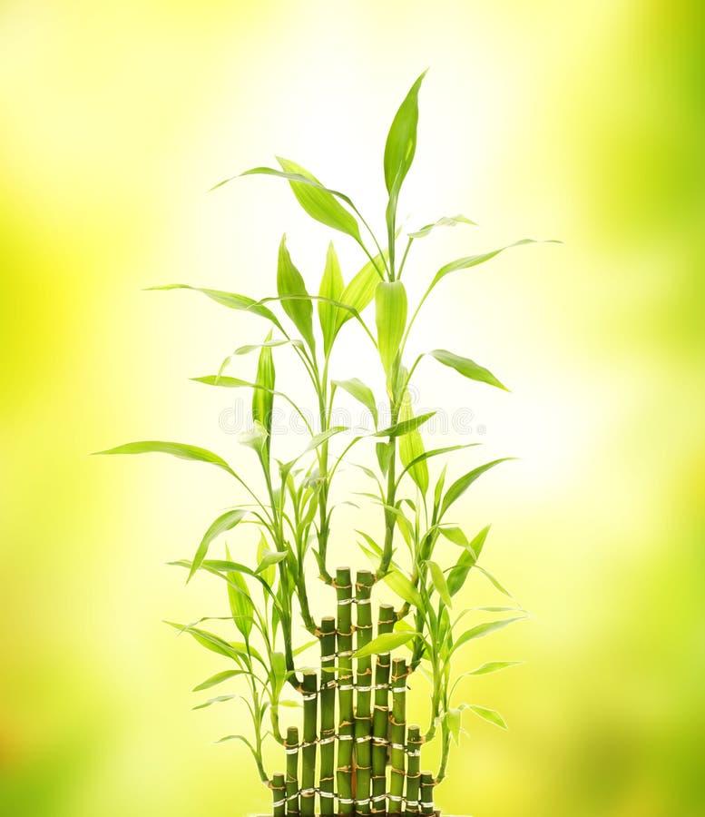 Download Green bamboo leaves stock photo. Image of biology, gardening - 6882232