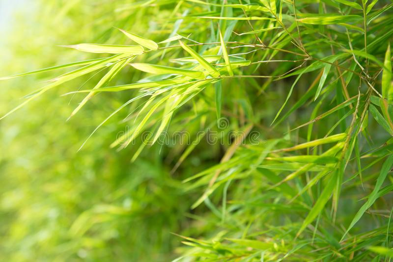 Green bamboo leaves background royalty free stock image