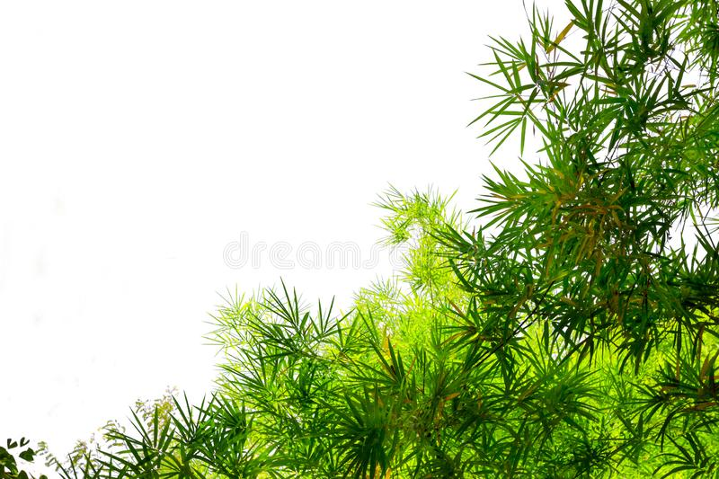 Green bamboo leaves isolated on white background.  royalty free stock images
