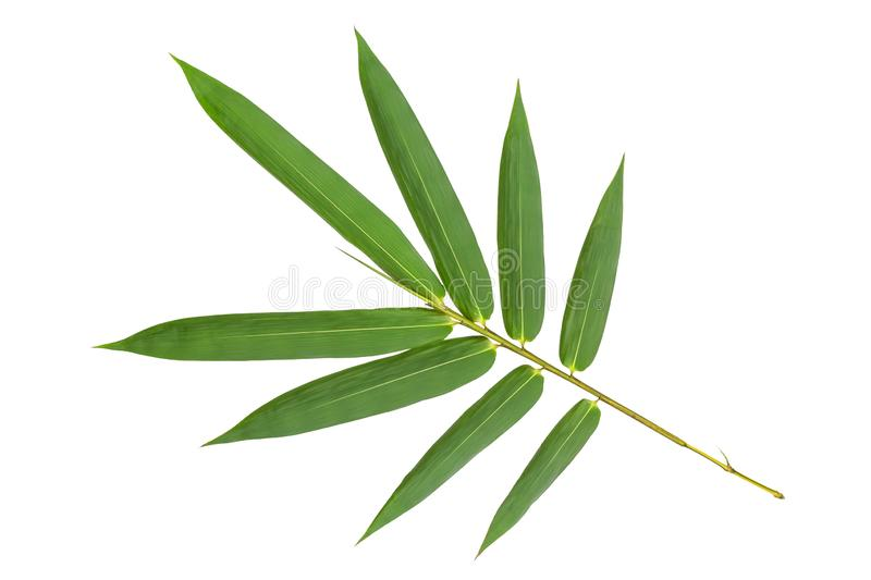 Green bamboo leaves pattern isolated on white background,back view. Green bamboo leaves pattern isolated on white background ,back view stock photography
