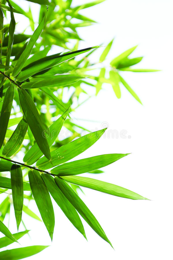 Green bamboo leaves on a white background stock image