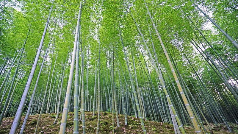 Green bamboo plant forest in Japan zen garden. The green bamboo plant forest in Japan zen garden royalty free stock images