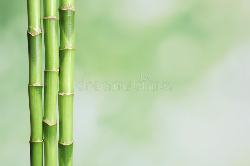 Green bamboo stems on blurred background with space royalty free stock photo