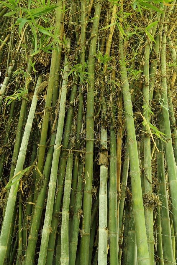 Green Bamboo Tree Texture Royalty Free Stock Photos