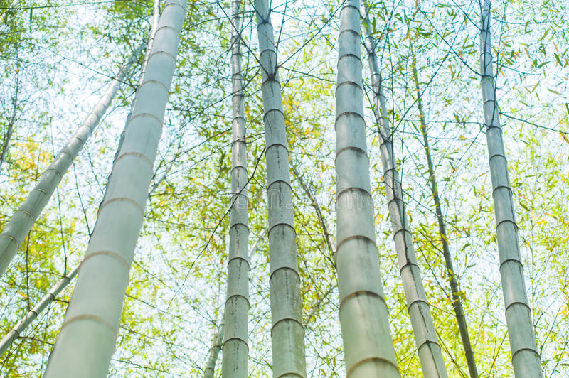 Green bamboo tree trunks in the forest. On a sunny day with a sky as background royalty free stock photos