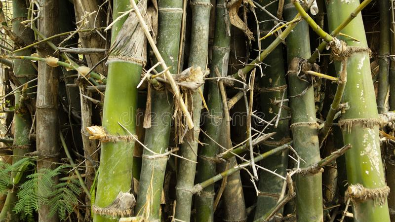 Green bamboo tree variant, more sturdy and easy to process as traditional home materials royalty free stock photos