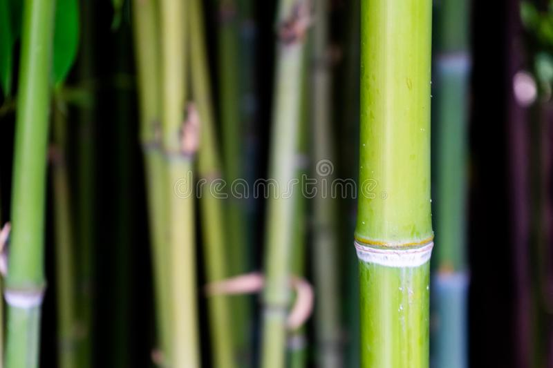 Green bamboo trees. Beautiful background of bamboo trunks. stock photo