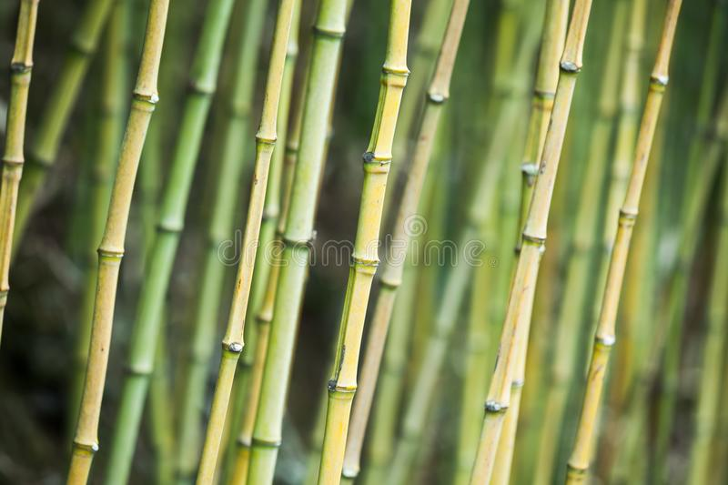 Green bamboo trunks, background photo royalty free stock photography