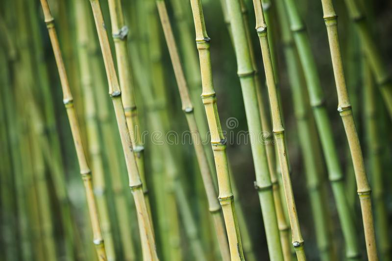 Green bamboo trunks, natural background royalty free stock image