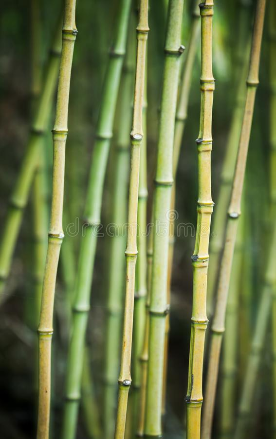 Green bamboo trunks, vertical background royalty free stock photo