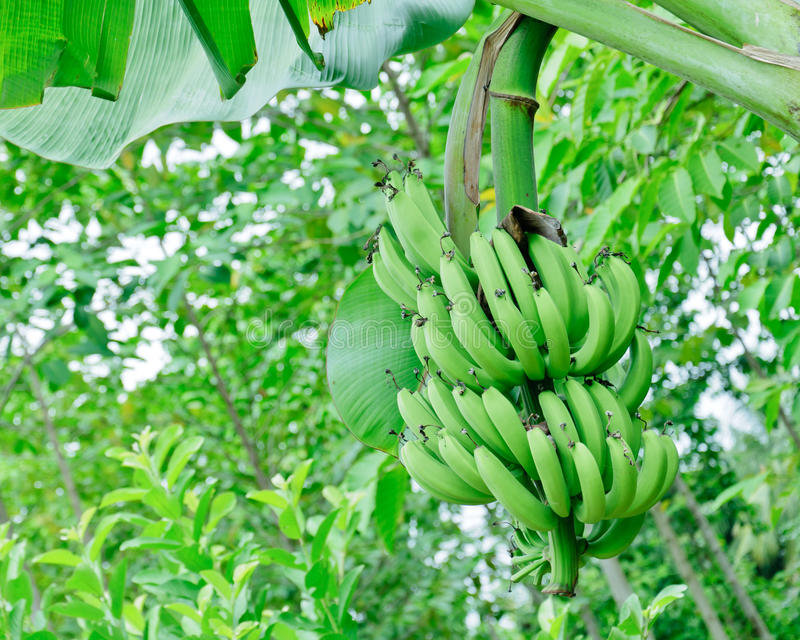 Green banana bundle royalty free stock photo