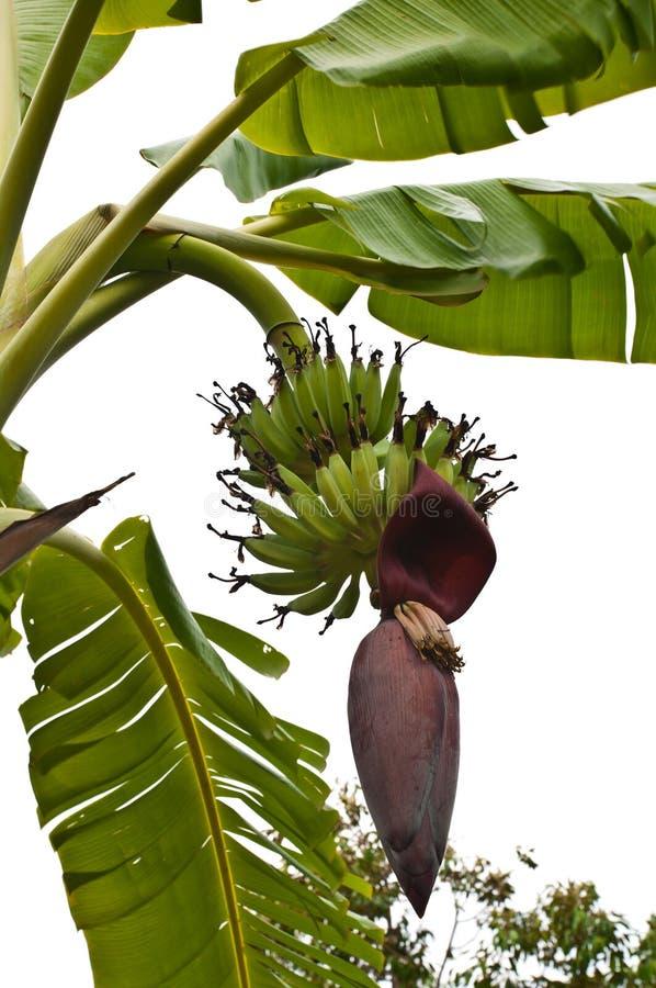 Green banana and flower royalty free stock photos