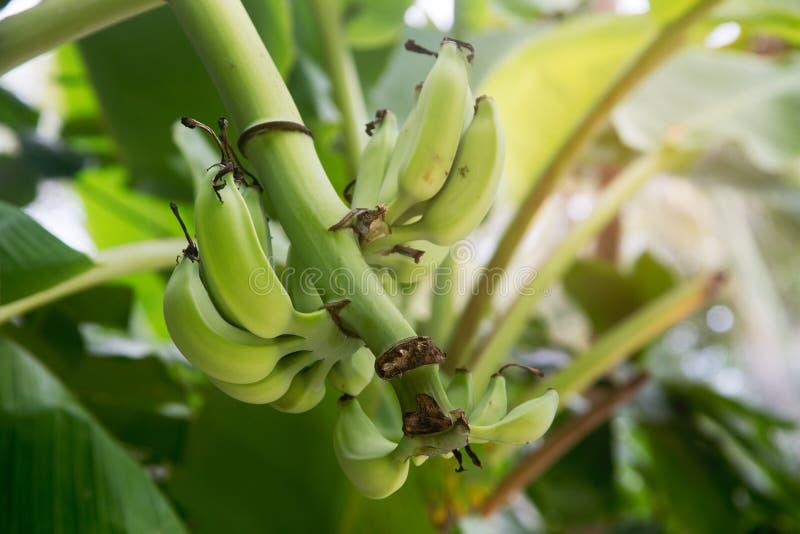 Green banana fruit grows on a banana tree stock photography