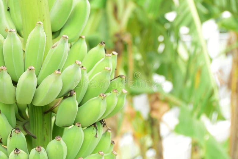 Green banana fruit natural healthy. Blur background royalty free stock photos