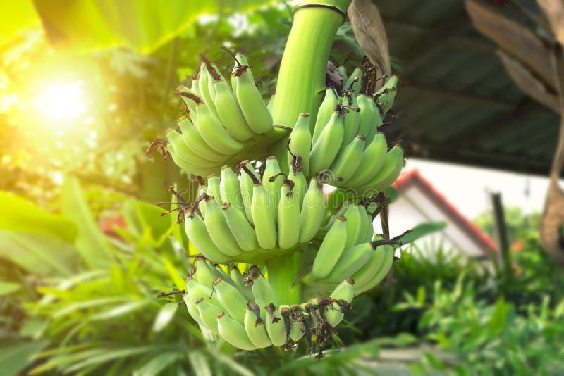 Green Banana Fruit. The green banana fruit with sunlight royalty free stock photos