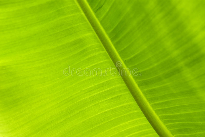 Download Green Banana Leaf stock photo. Image of tropical, botany - 14193464