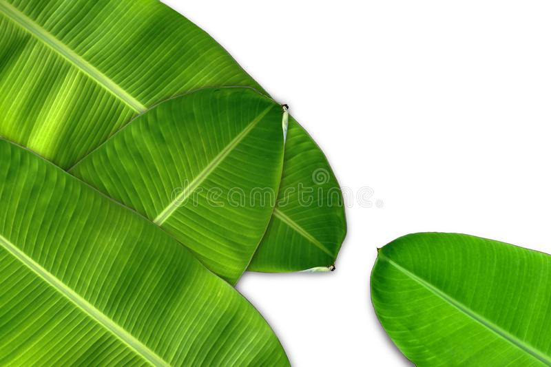Green banana leaf, green tropical foliage texture isolated on white background. stock photo