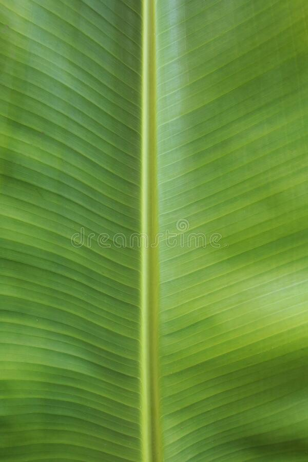 Green banana leaf macro shot. stock photo