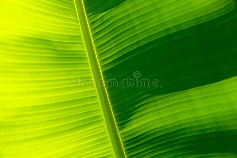 Green banana leaf texture, full frame background stock image