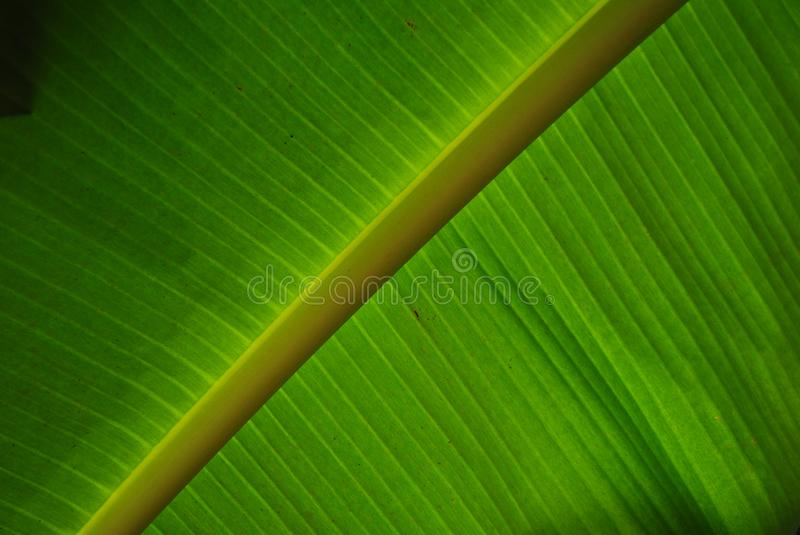 Green from the banana leave royalty free stock photos