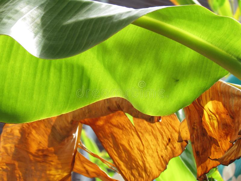Green Banana leaves and bright sunlight, texture and pattern on the surface of leaves with dried leaf background. stock photo