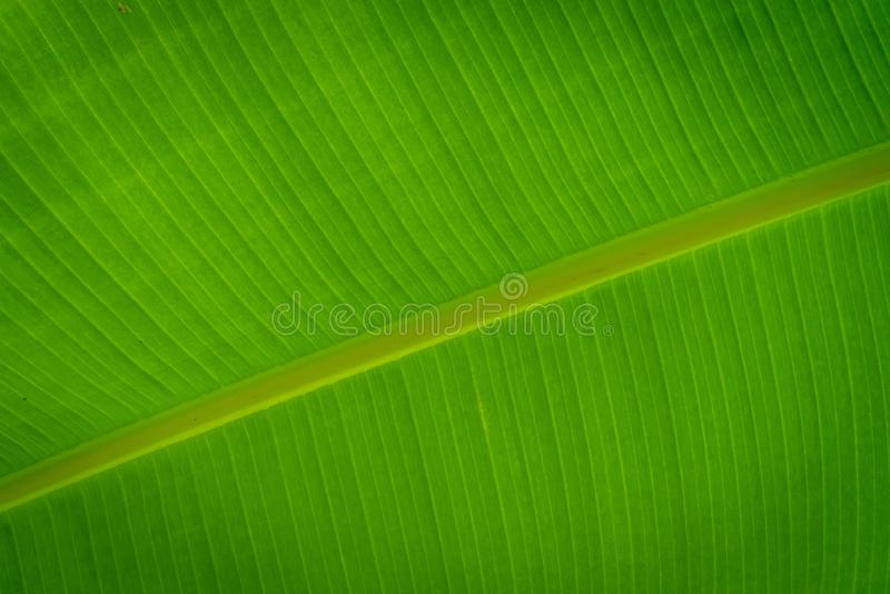Green banana leaves royalty free stock photography