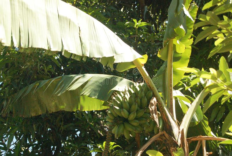 Green Banana Tree in Ethiopia. Taken May 2017 in Ethiopia. Green banana tree with bunch of green bananas royalty free stock photos