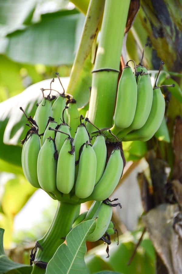 Green banana tree in fruit garden. Close up green banana tree in fruit garden stock photography