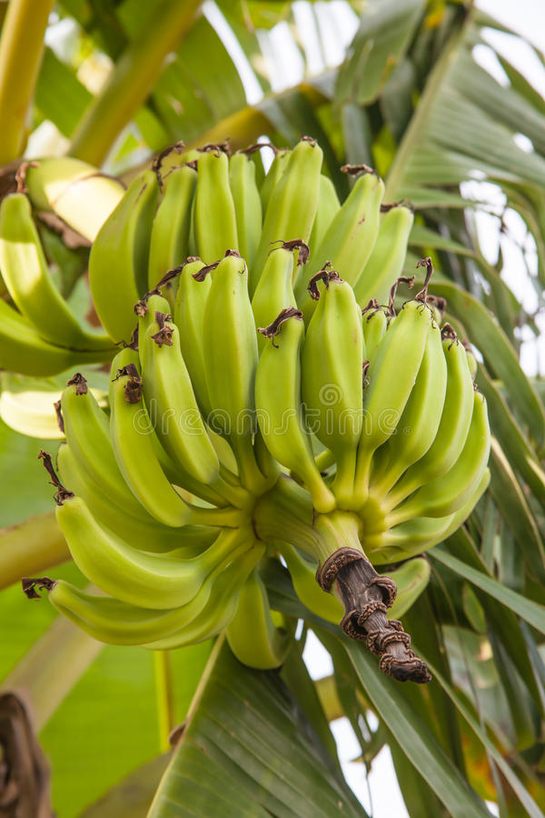 The green banana on tree. In the garden royalty free stock photography