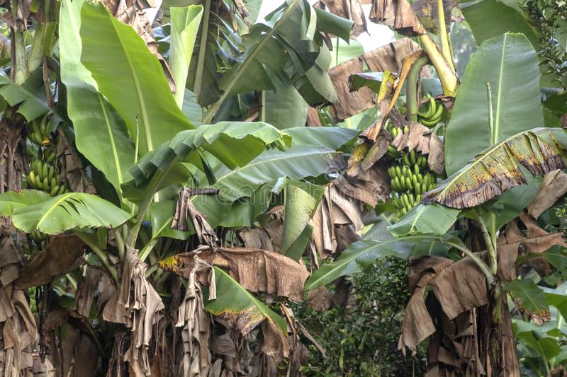 Green Banana tree in the rainforest of Amazon River basin in South America. Banana plantation in nature with daylight, Green Banana tree in the rainforest of stock photography
